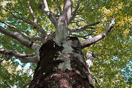 樹齢約300年のマザーツリー